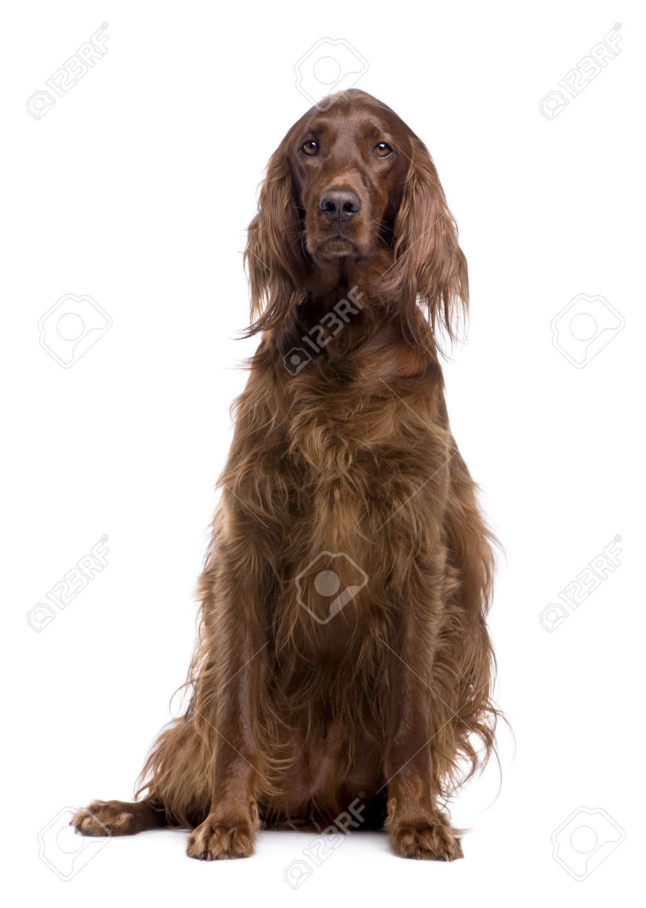 Irish Setter (3 years) in front of a white background Stock Photo - 3943156
