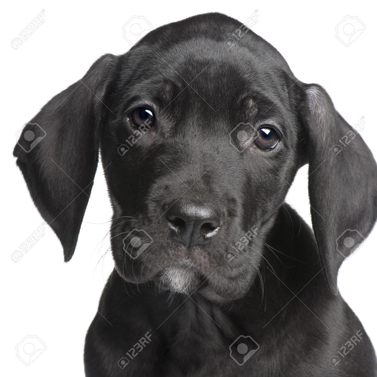 Black Great Dane Puppy dane dog  puppy Great Dane  2