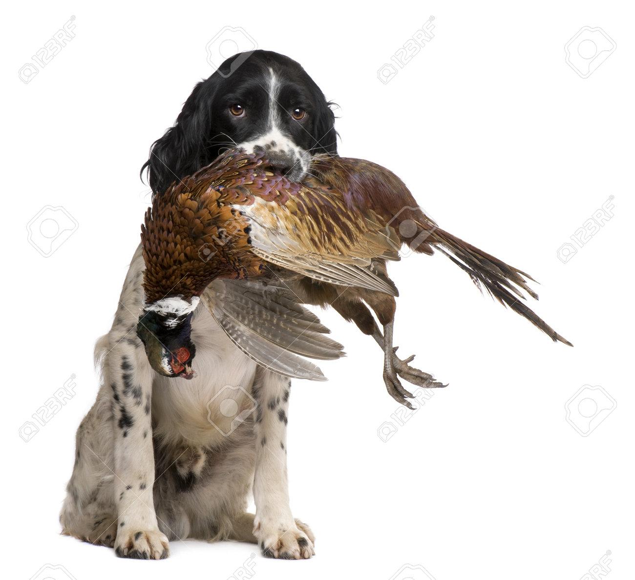 English Springer Spaniel Pheasant Hunting English Springer Spaniel