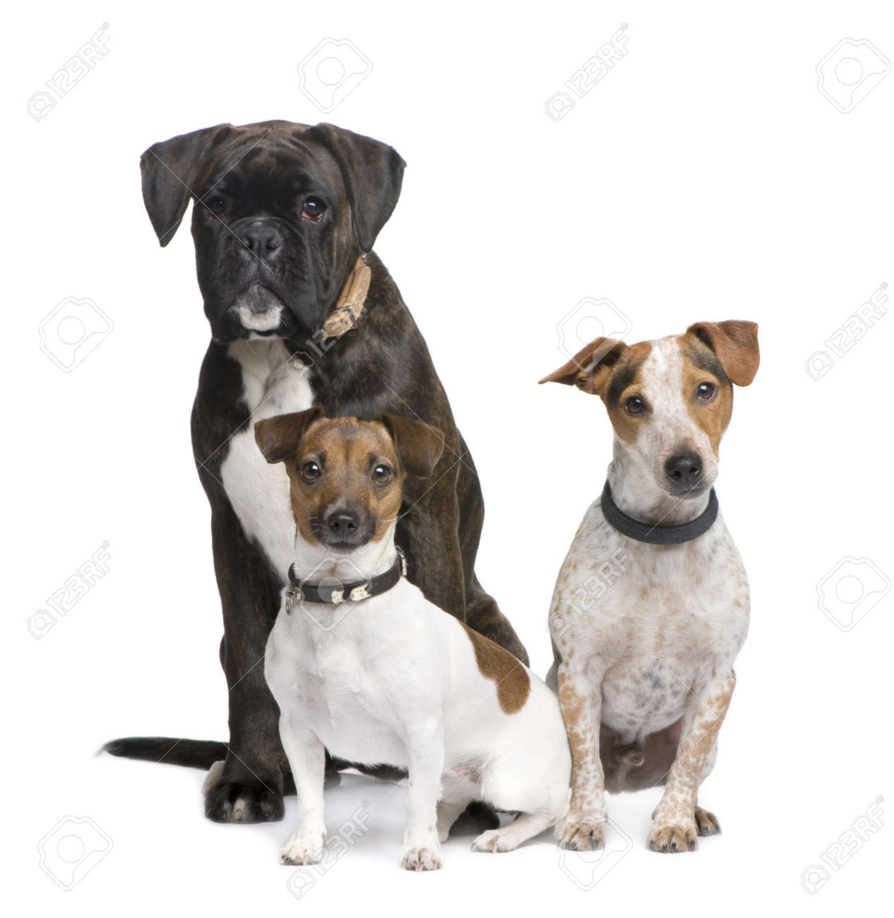 Group Of Three Dogs Boxer Jack Russell And A Crossbreed In Front White