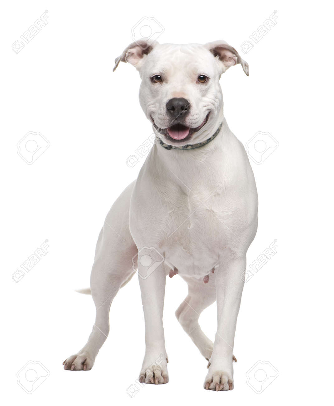 American Staffordshire Terrier 4 Years In Front Of A White Stock Photo Picture And Royalty Free Image Image 4064443
