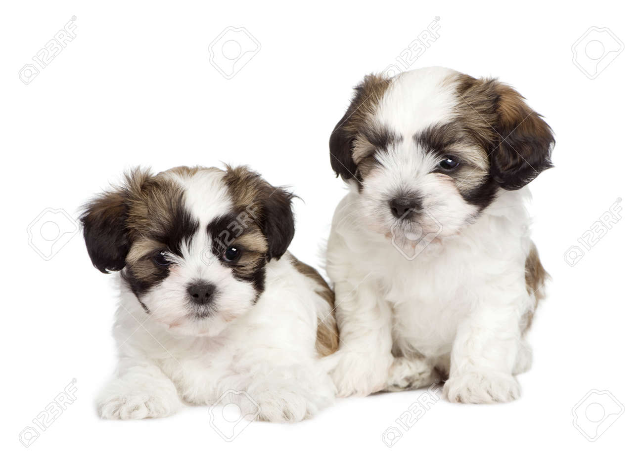 Puppy Mixed Breed Dog Between Shih Tzu And Maltese Dog 7 Weeks