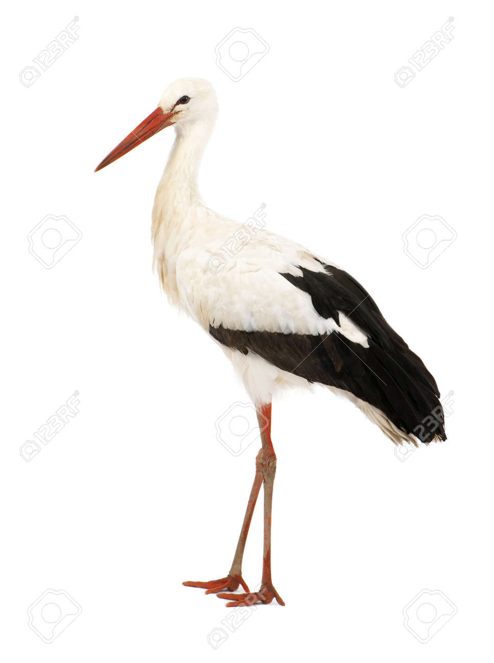 White Stork - Ciconia ciconia (18 months) in front of a white background Standard-Bild - 4455343