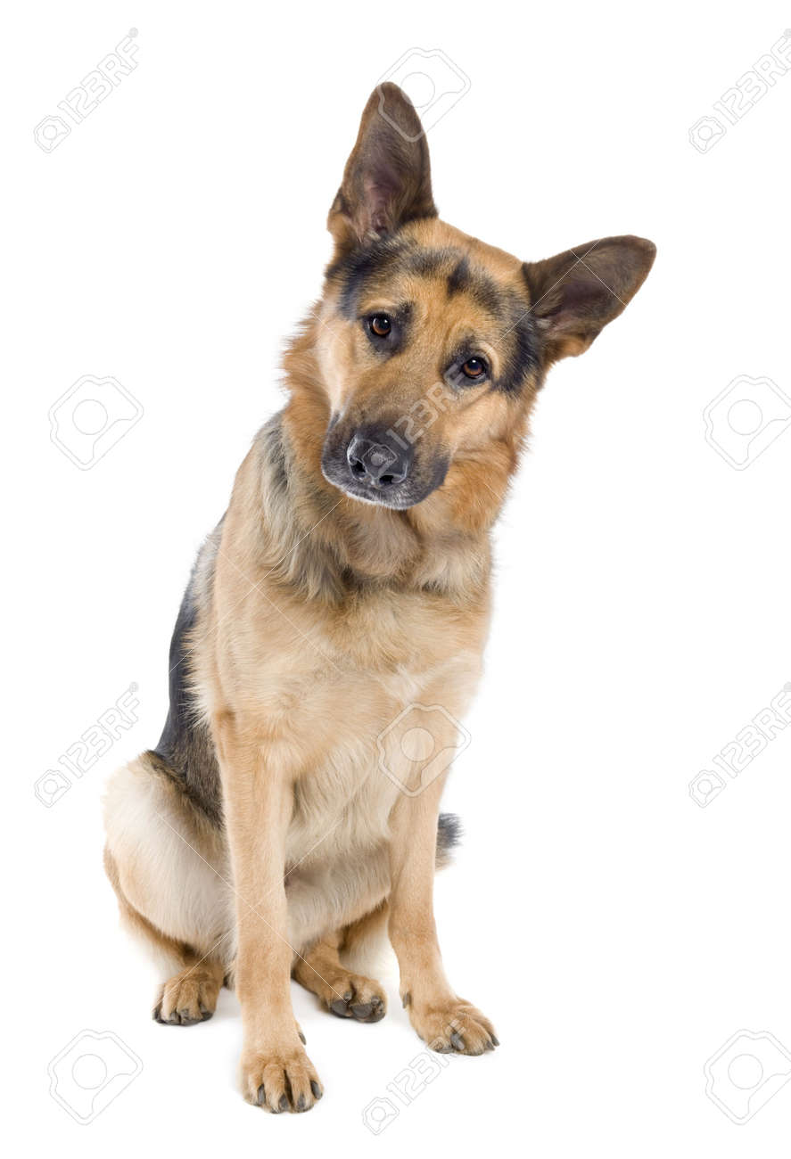 german shepherd (2 years old) in front of a white background Stock Photo - 4712843