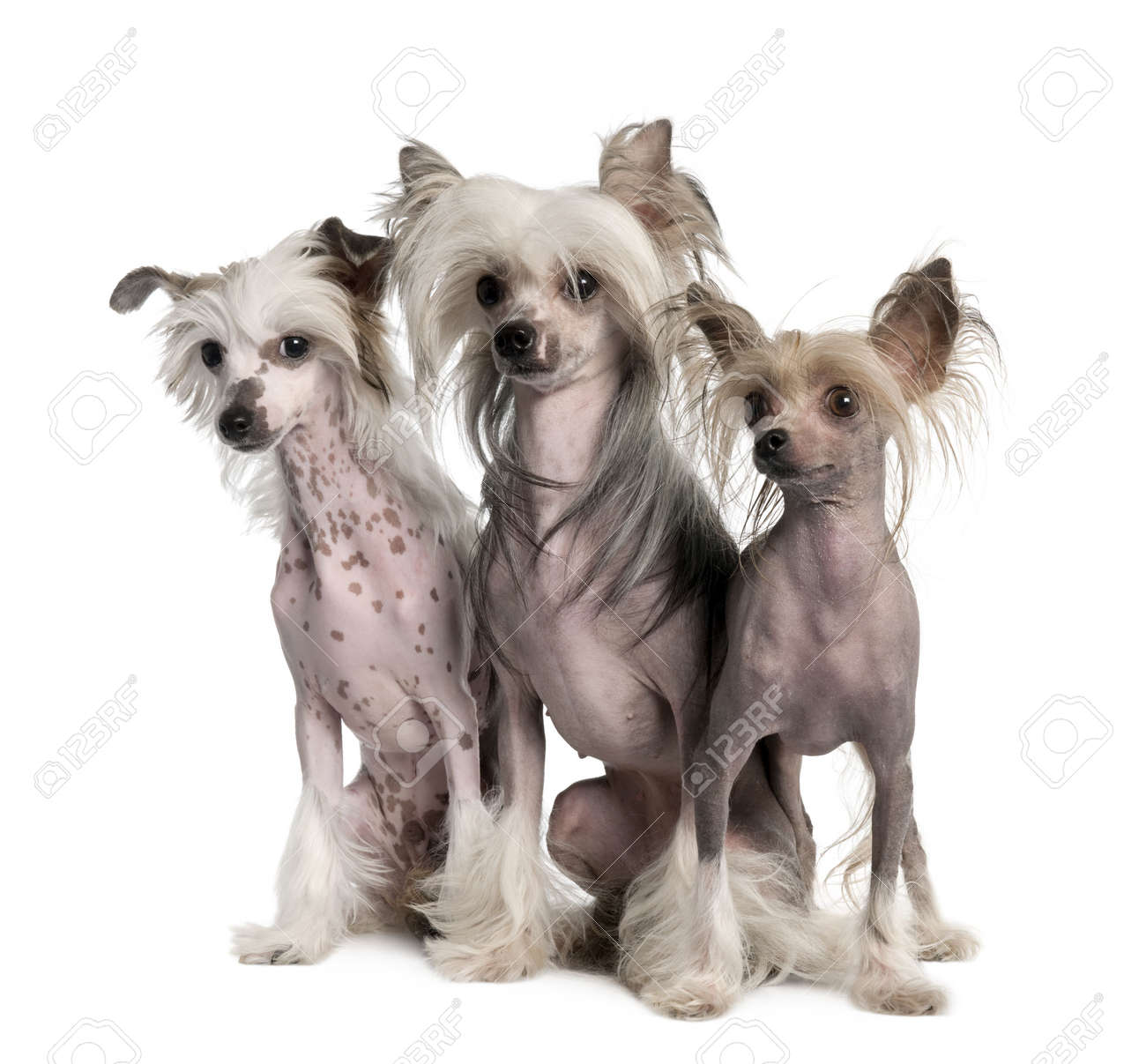 group of three Chinese Crested Dog - Hairless (3 years old) in front of a white background Stock Photo - 4712706