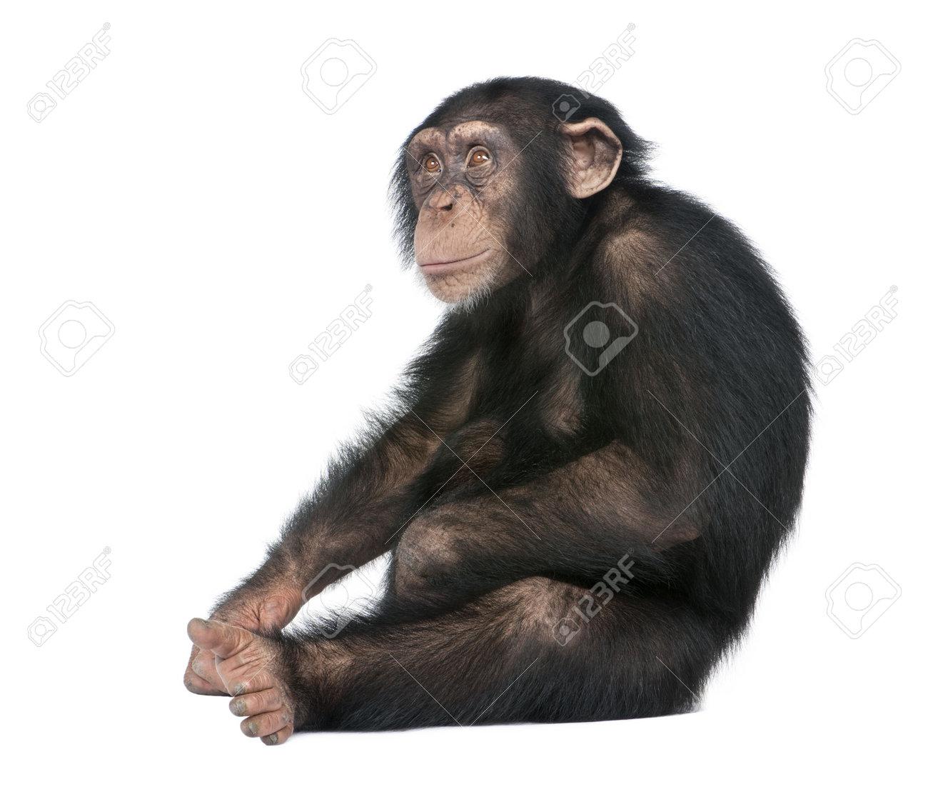 Junge Schimpanse Simia Zaunkonige 5 Jahre Vor Der Einen Weissen