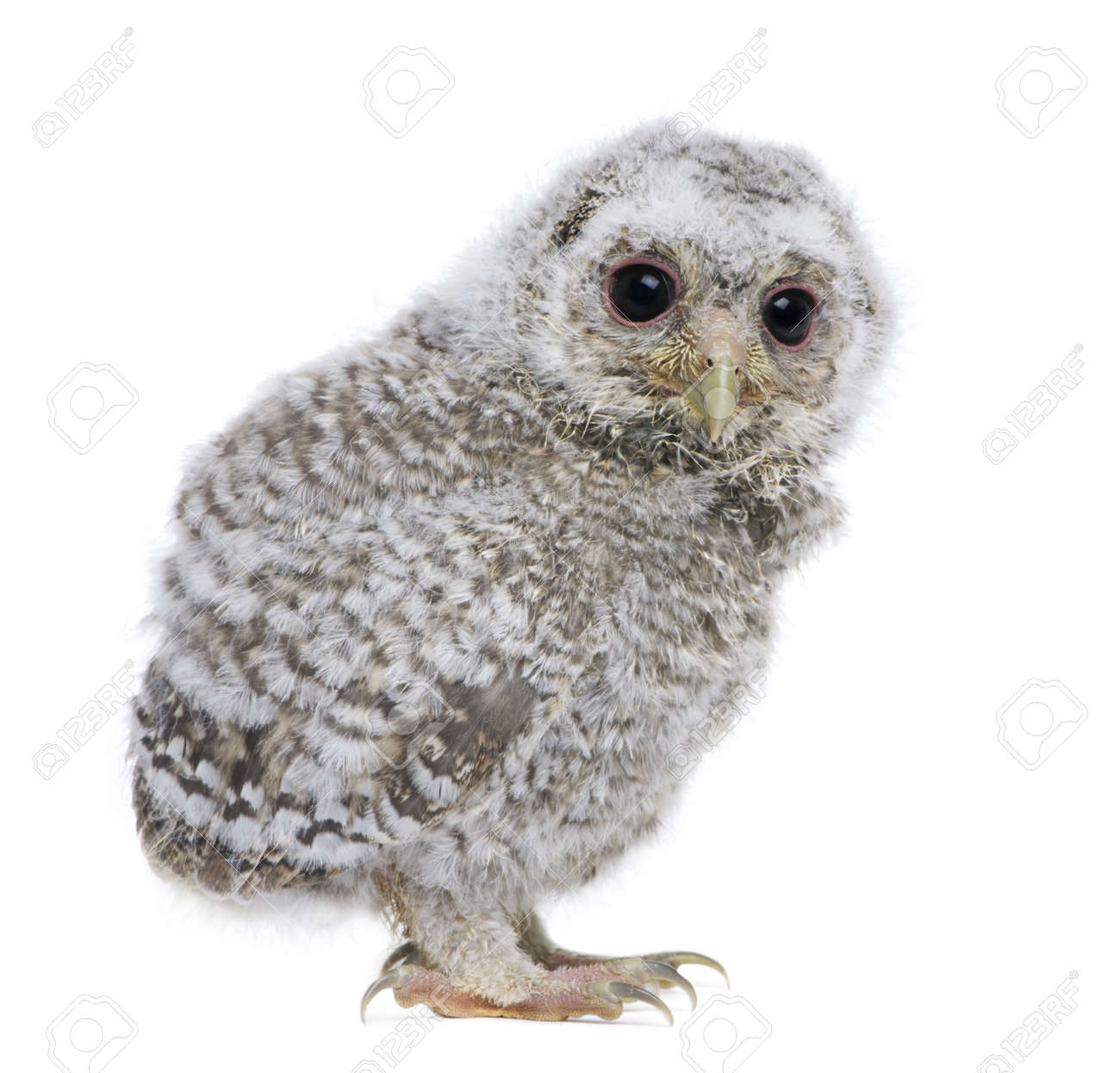 side view of a owlet - Athene noctua (4 weeks old) in front of a white background Stock Photo - 4934586
