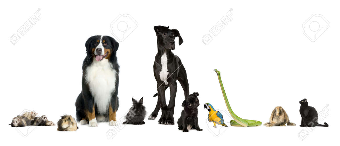 Group of pets in a raw - Dog, cat, bird, reptile, rabbit, ferret- in front of a white background Stock Photo - 5036098