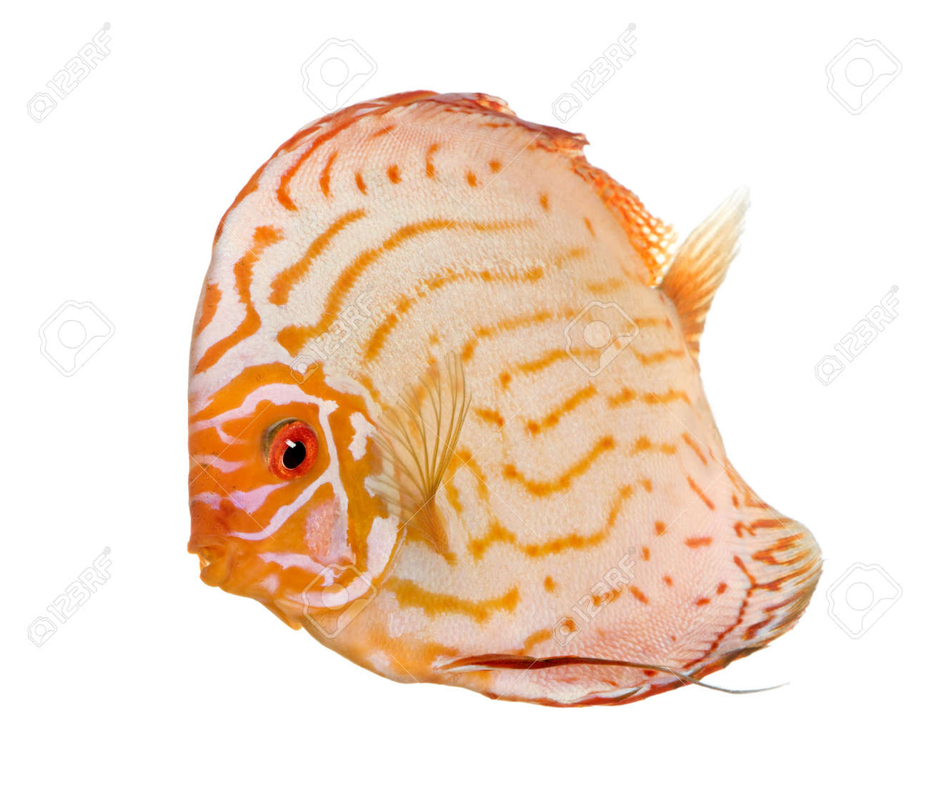 Pigeon Blood Discus (fish) - Symphysodon aequifasciatus  in front of a white background Stock Photo - 5085350