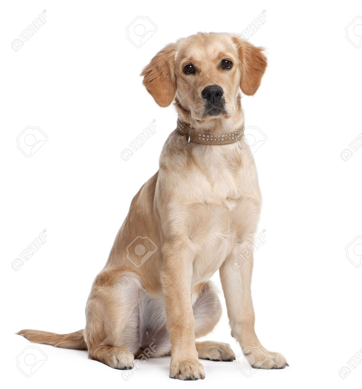 Golden Retriever Puppy 5 Months Old In Front Of A White Background