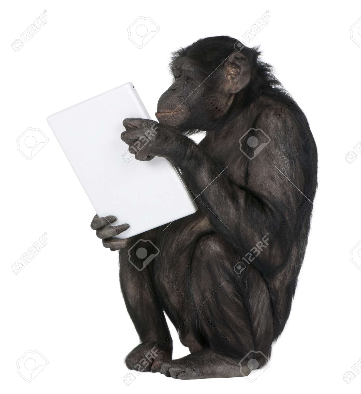 http://previews.123rf.com/images/isselee/isselee0909/isselee090900076/5497046-monkey-Mixed-Breed-between-Chimpanzee-and-Bonobo-playing-with-a-laptop-20-years-old-in-front-of-a-wh-Stock-Photo.jpg