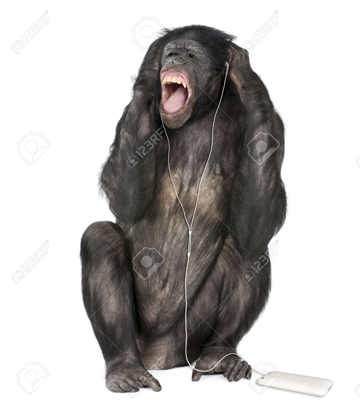 http://previews.123rf.com/images/isselee/isselee0909/isselee090900081/5497277-Mixed-breed-between-Chimpanzee-and-Bonobo-listening-to-music-20-years-old-in-front-of-white-backgrou-Stock-Photo.jpg