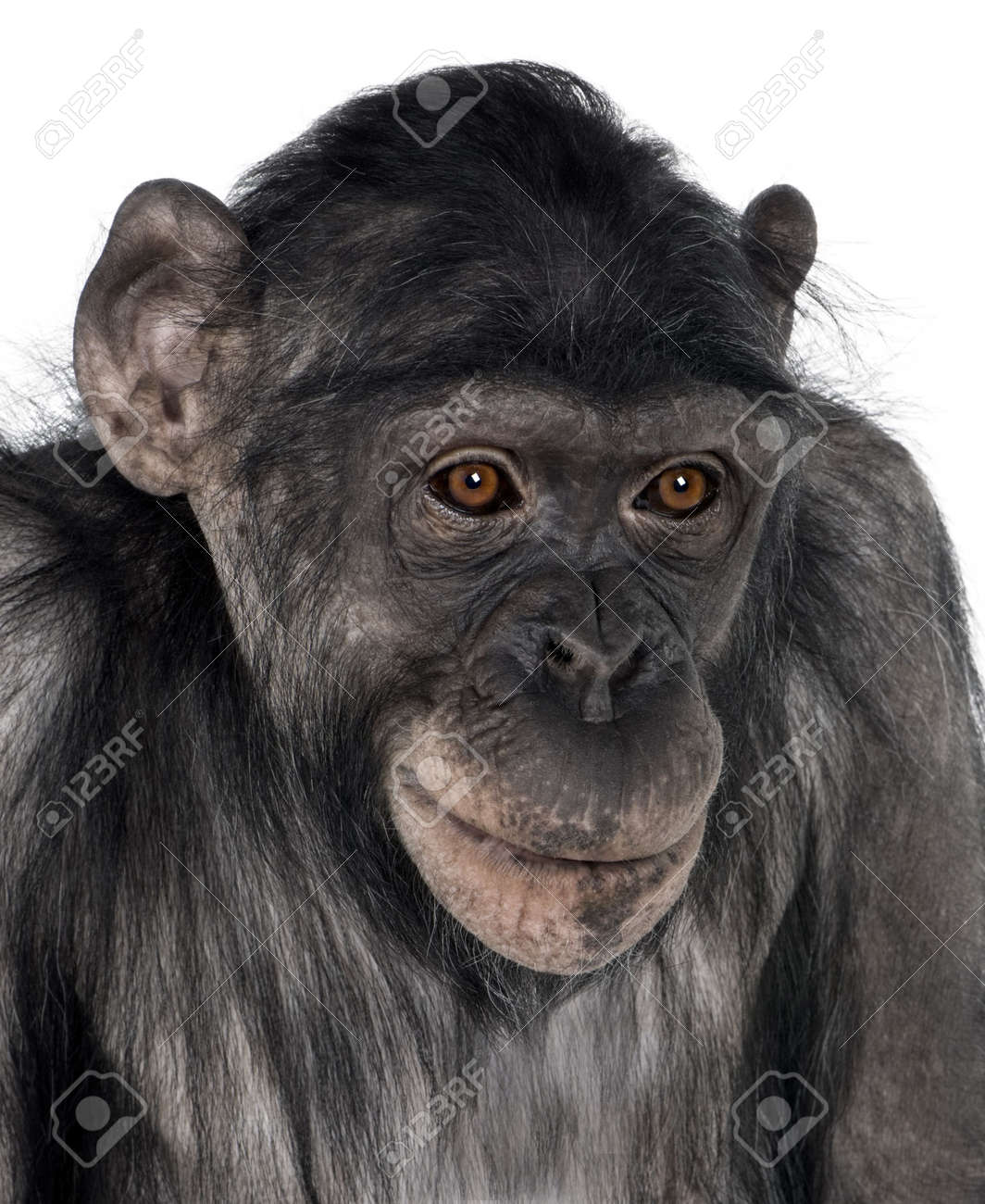close-up on a monkey's head (Mixed-Breed between Chimpanzee and Bonobo) (8 years old) Stock Photo - 5569770