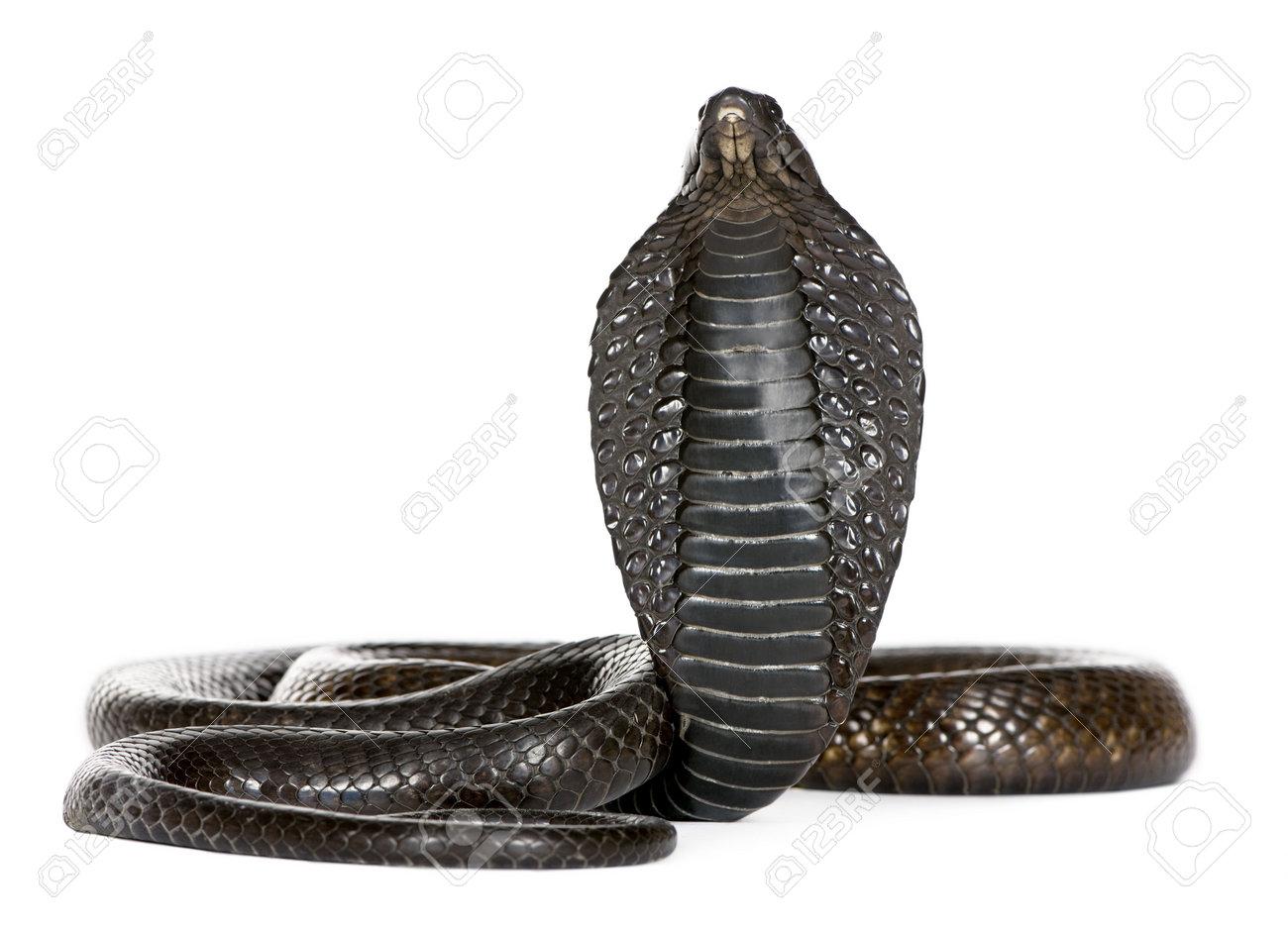 Egyptian Cobra Drawing Egyptian Cobra Naja Haje in