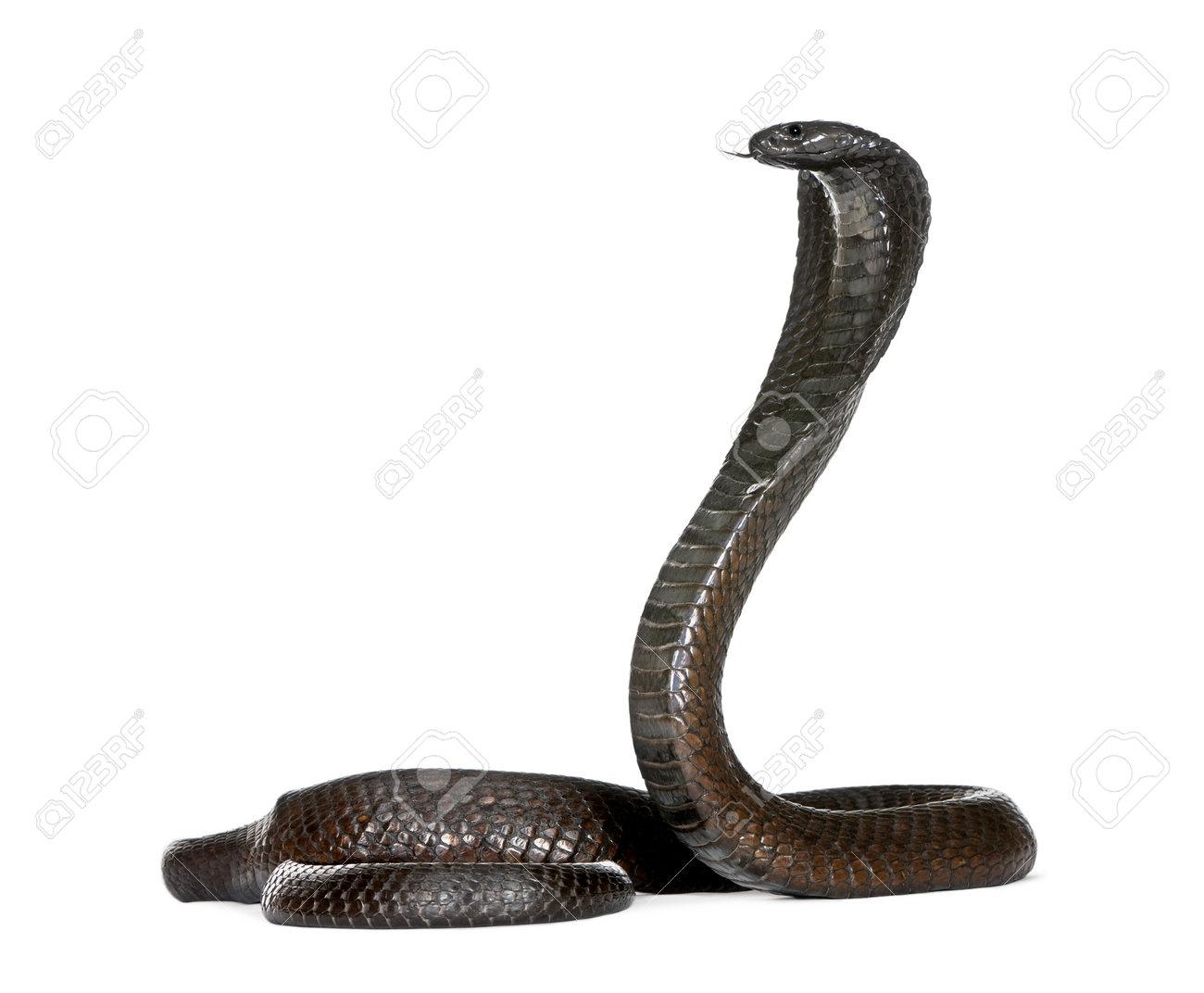 Egyptian Cobra Drawing Cobra Snake Egyptian Cobra
