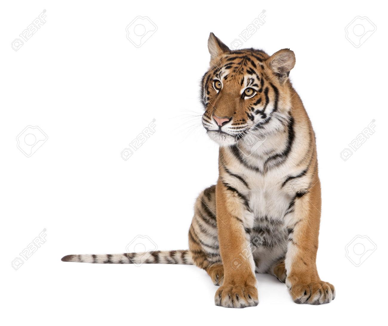 Portrait of Bengal Tiger, Panthera tigris tigris, 1 year old, sitting in front of white background, studio shot Stock Photo - 5570156