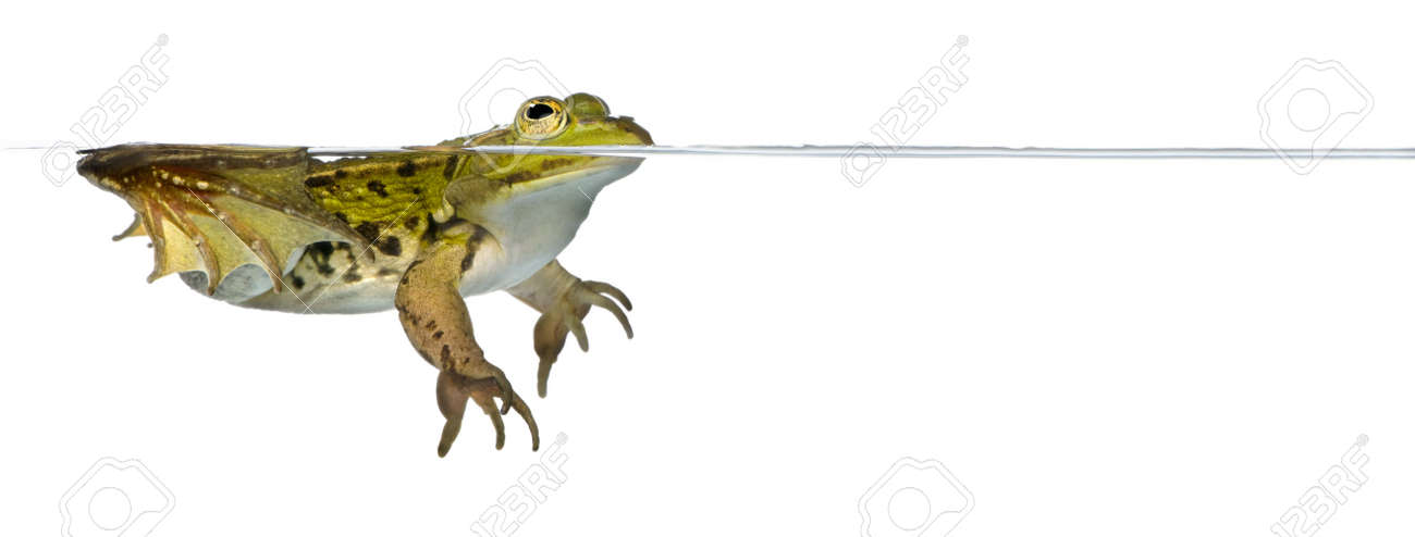 Frog floating in water against white background, studio shot Stock Photo - 5911963