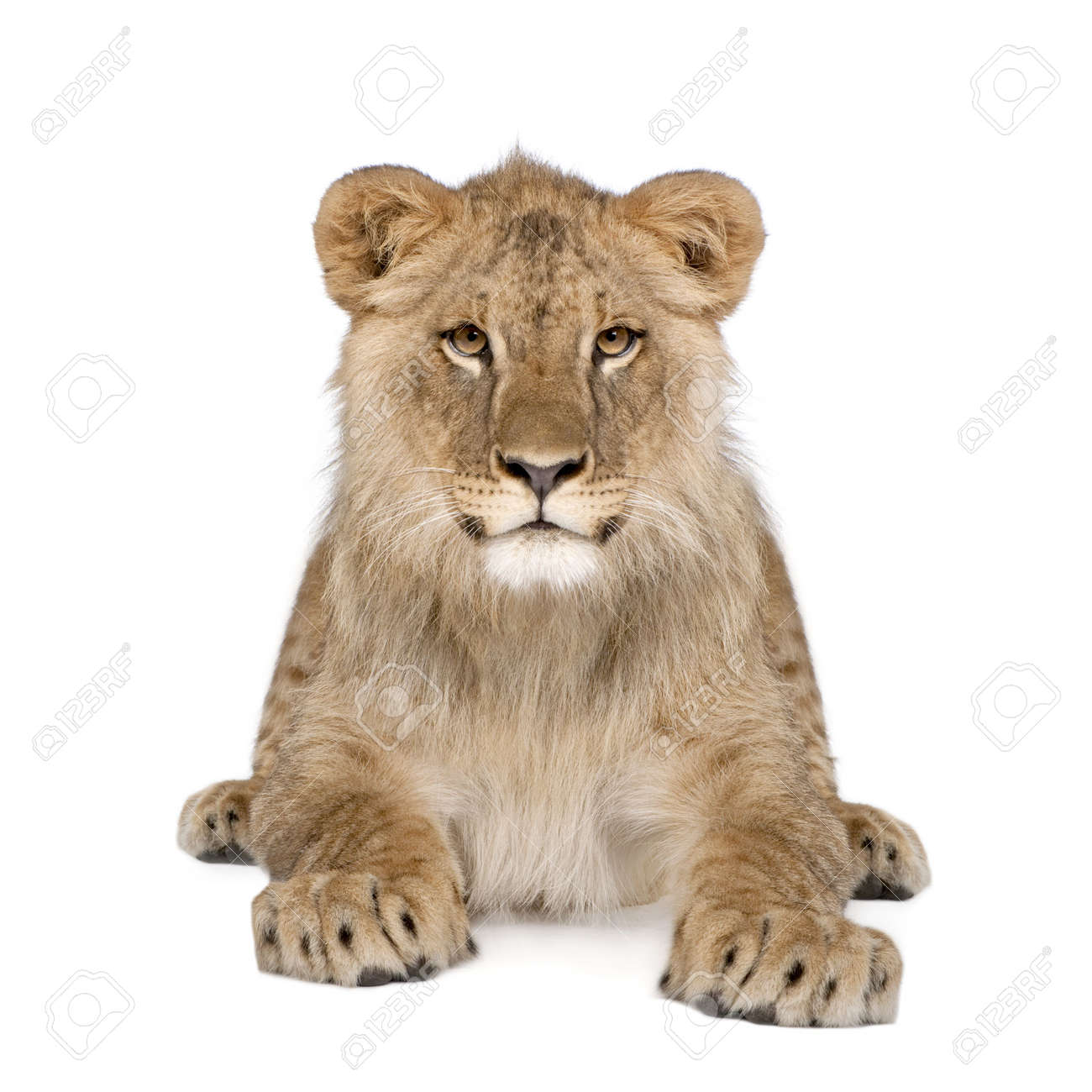 Portrait of lion cub, Panthera leo, 8 months old, sitting in front of white background, studio shot Stock Photo - 5912012