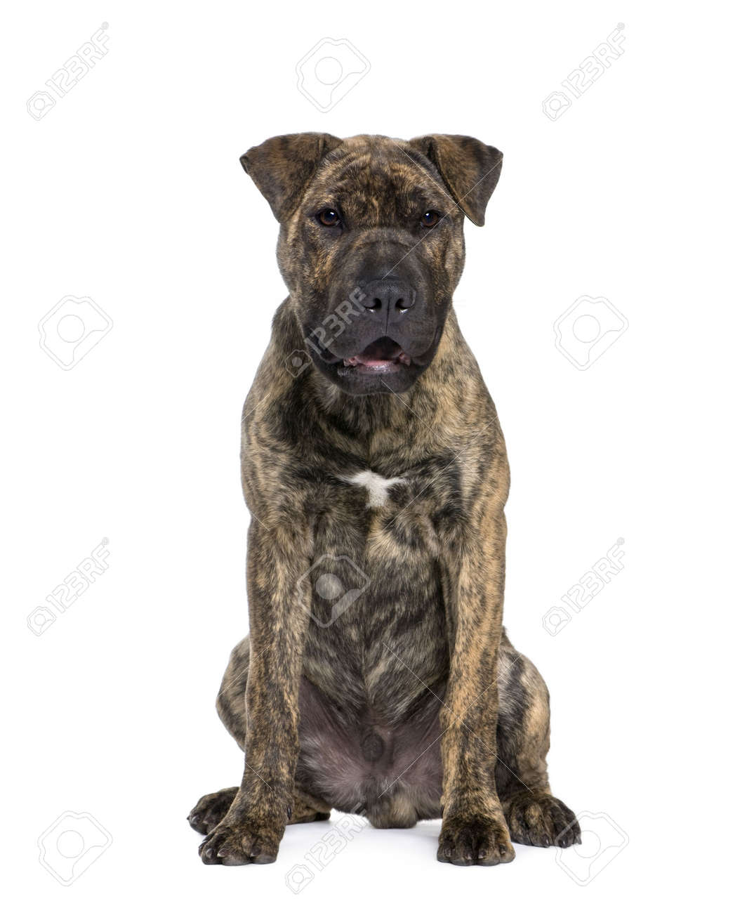 Mixed-breed dog, 4 months old, sitting in front of white background, studio shot Stock Photo - 5912269
