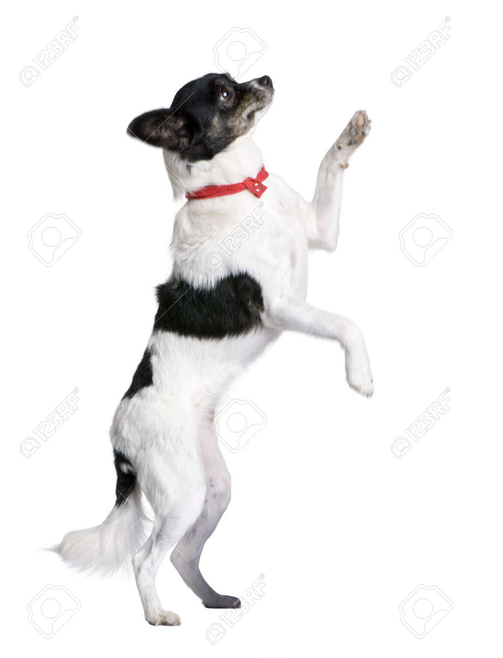Bastard dog in red handkerchief walking on hind legs in front of white background, studio shot Stock Photo - 5912077