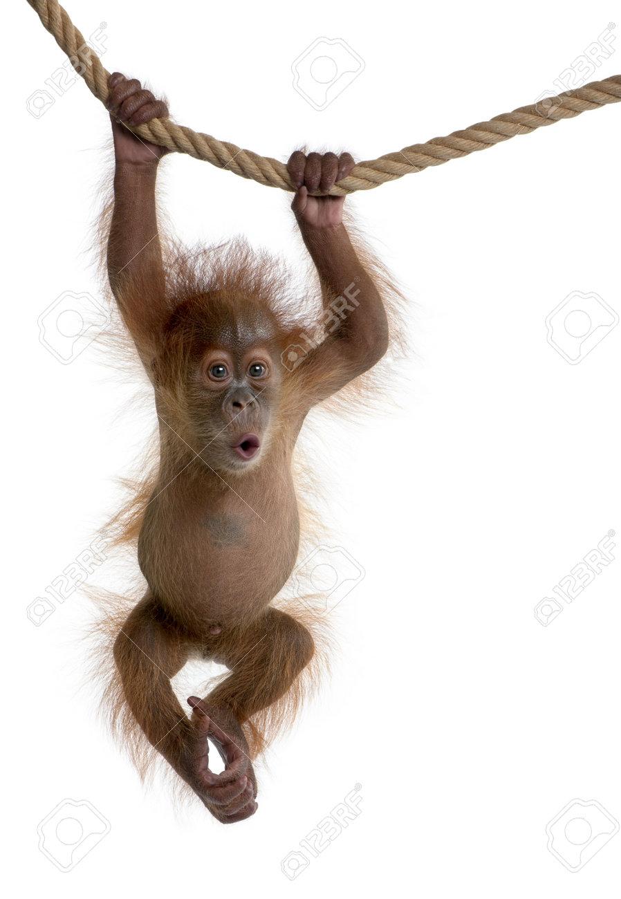 Baby Sumatran Orangutan hanging on rope, 4 months old, in front of white background - 5912257