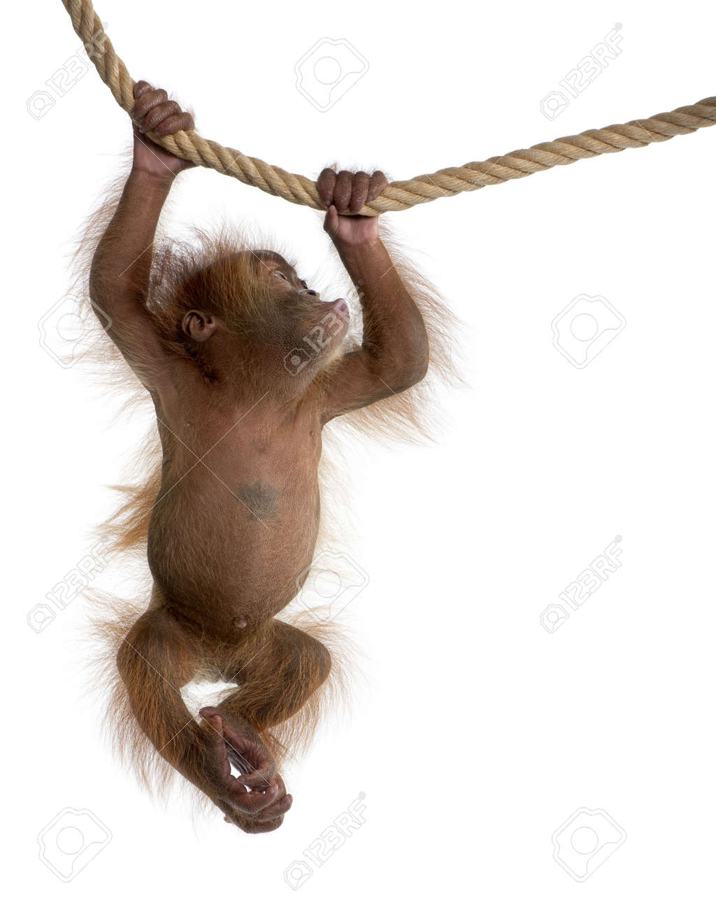 Baby Sumatran Orangutan, 4 months old, hanging from rope in front of white background Stock Photo - 6379267