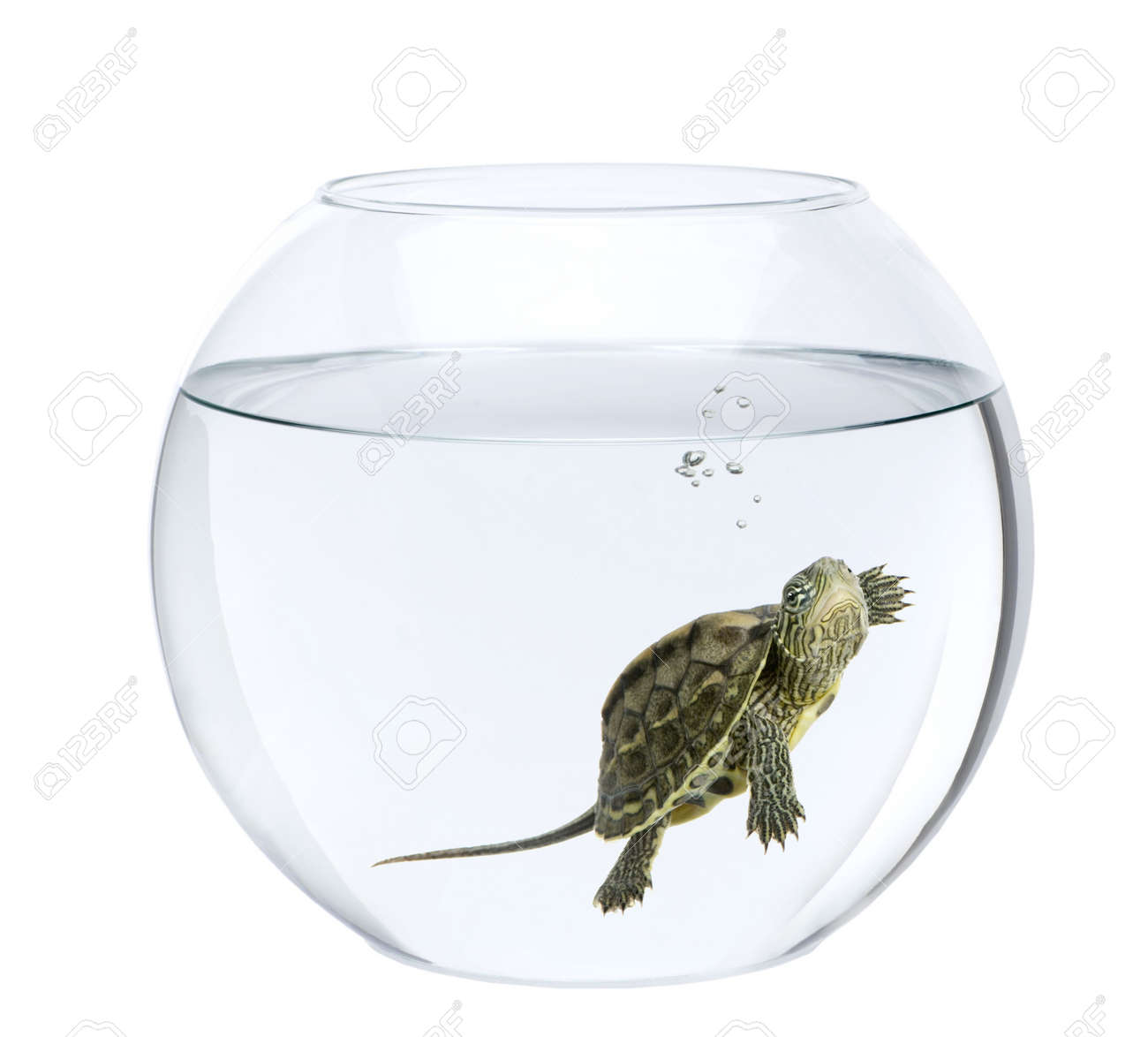 Freshwater fish bowl - Small Turtle Swimming In Fish Bowl In Front Of White Background Stock Photo 6378754
