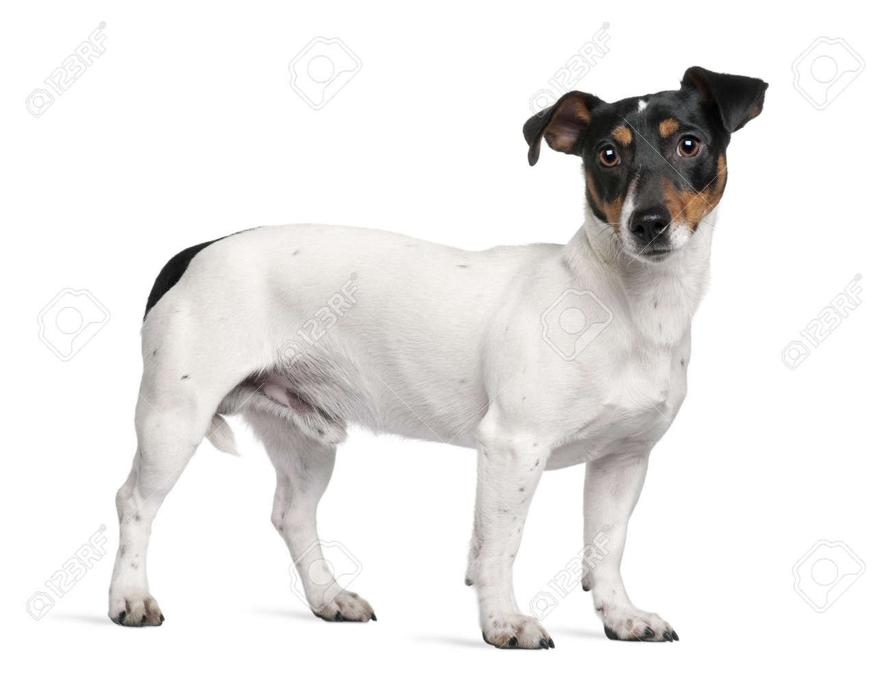 Jack Russell Terrier, 1 year old, standing in front of white background Stock Photo - 6378821