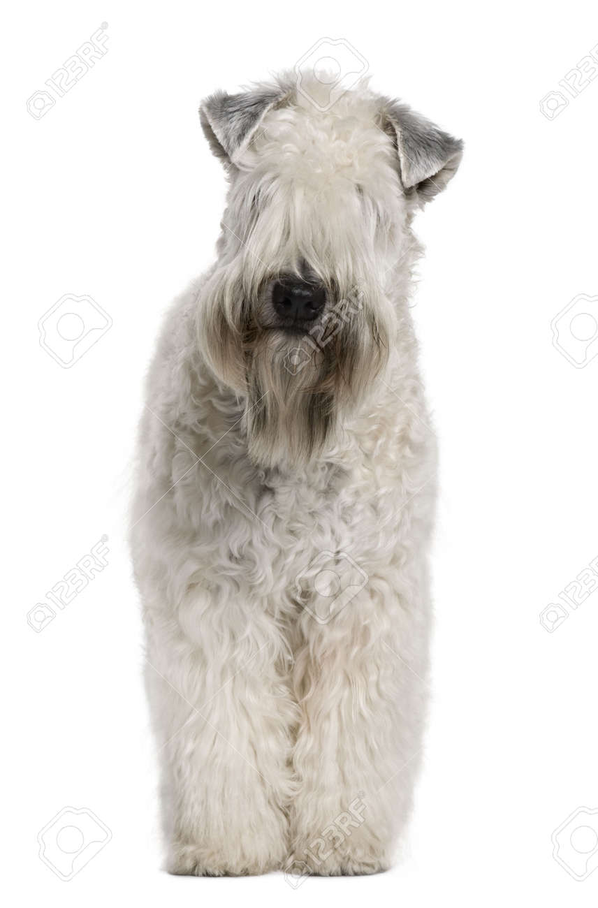 Soft-coated Wheaten Terrier, 1 Year Old, Standing In Front Of ...