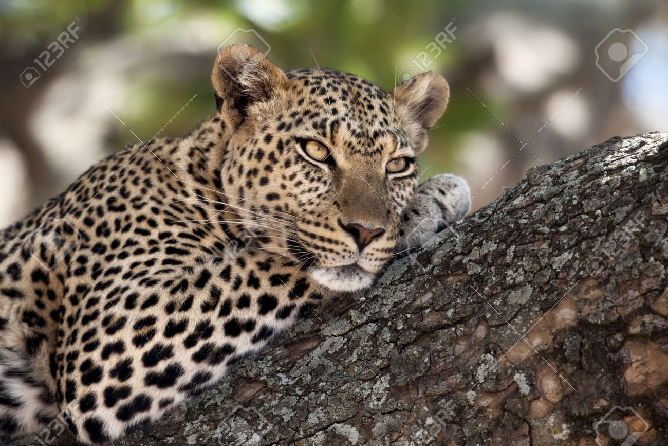Close Up Of A Leopard Lying In Branch Of Tree Stock Photo Picture