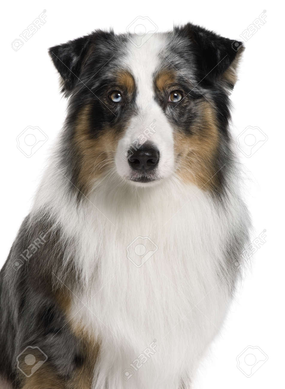 Australian Shepherd dog, 3 years old, in front of white background Stock Photo - 7121668