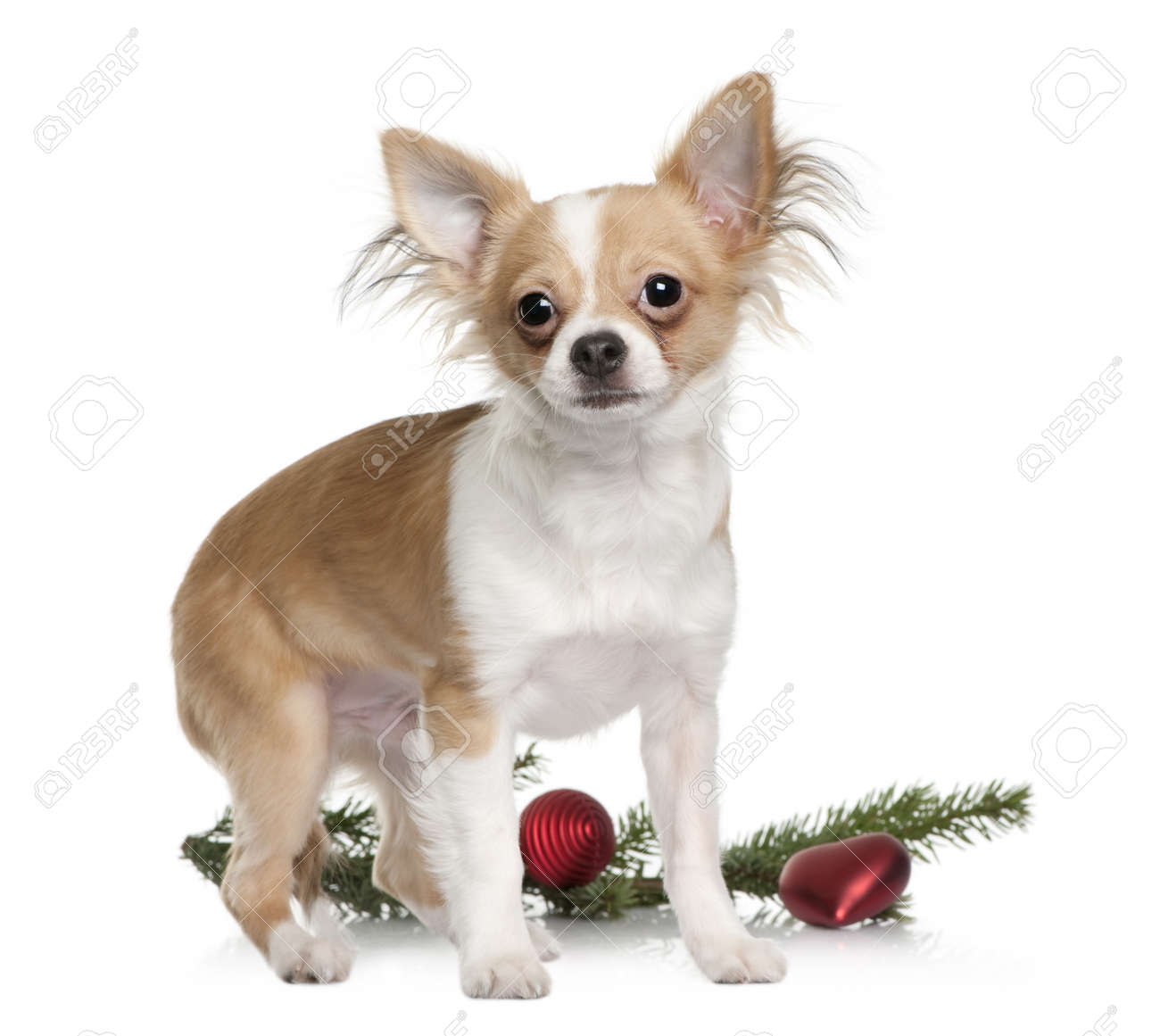 Chihuahua, 7 months old, standing with Christmas decorations in front of white background Stock Photo - 7120384