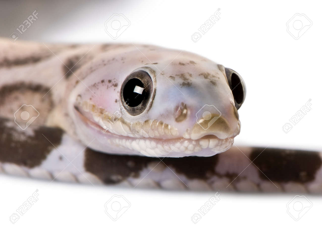 Close-up of a scaleless corn snake or red rat snake, Pantherophis guttatus, in front of white background Stock Photo - 7119600