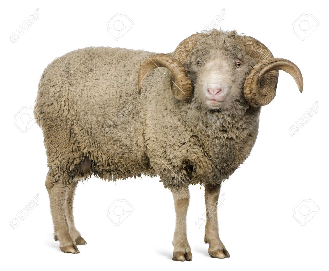 Arles Merino sheep, ram, 5 years old, standing in front of white background - 7121398