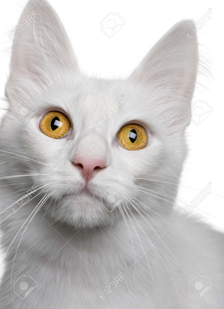 ee7074809e Close Up Of A Turkish Angora (18 Months Old) In Front Of A White ...