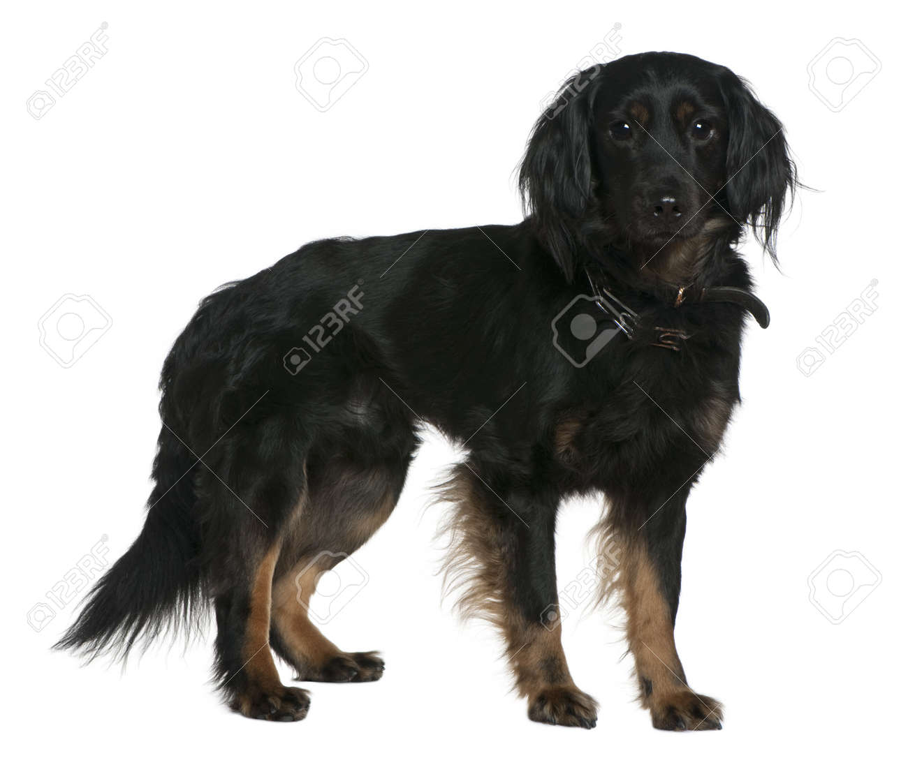 Mixed-breed dog, 3 years old, standing in front of white background Stock Photo - 7120749