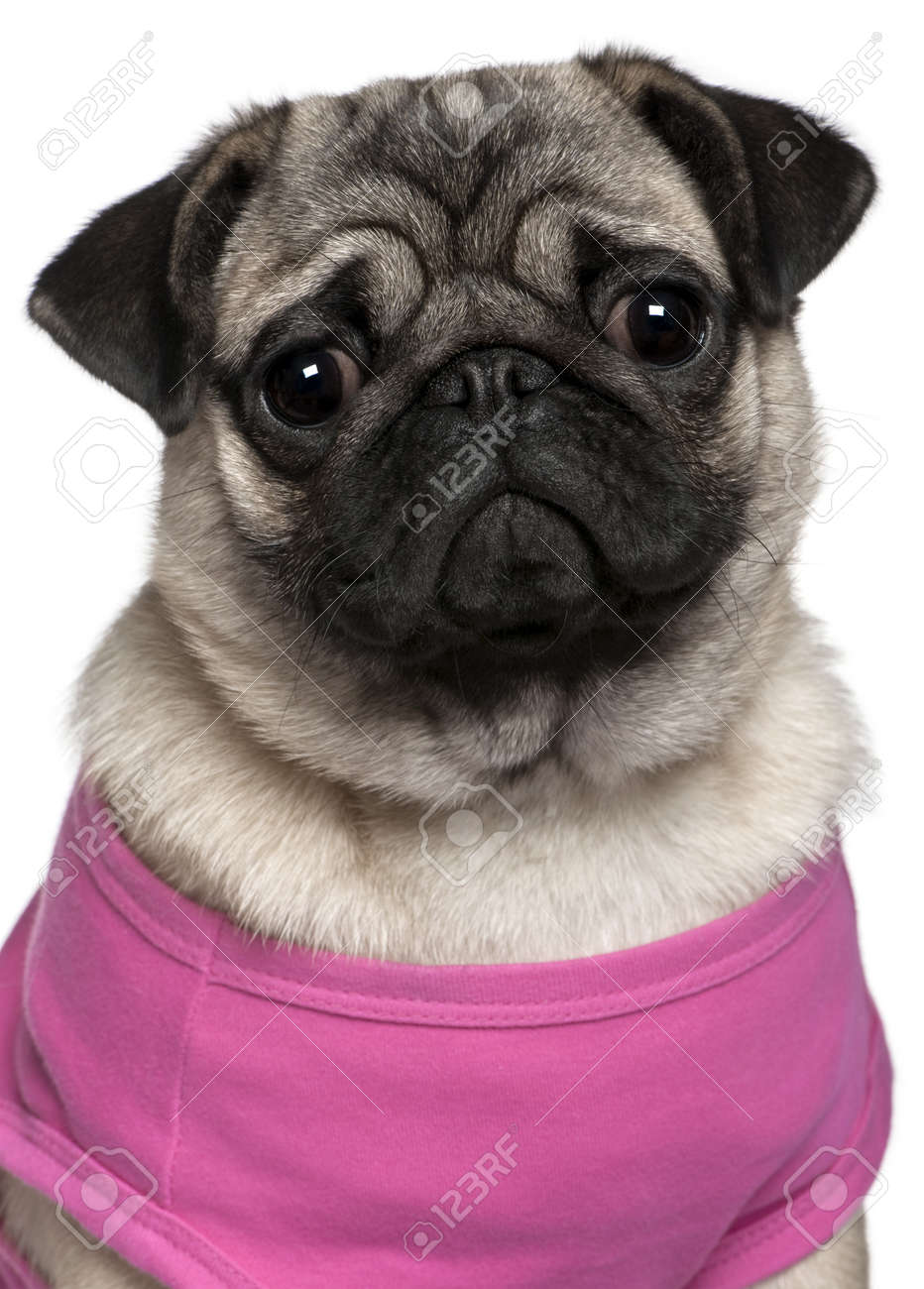 be614cb632f3 Pug Dressed In Pink