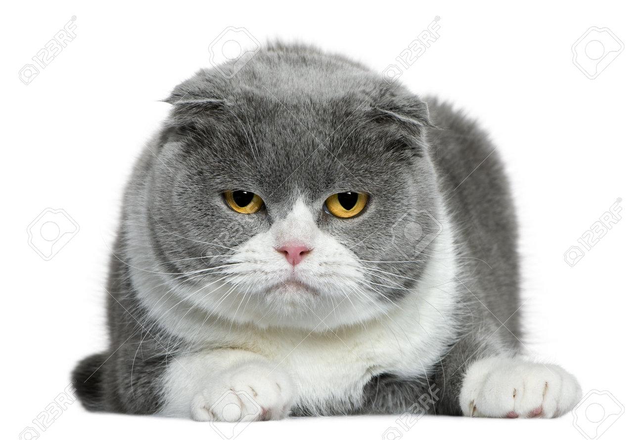 [Image: 7121449-Scottish-fold-cat-5-years-old-ly...-Photo.jpg]