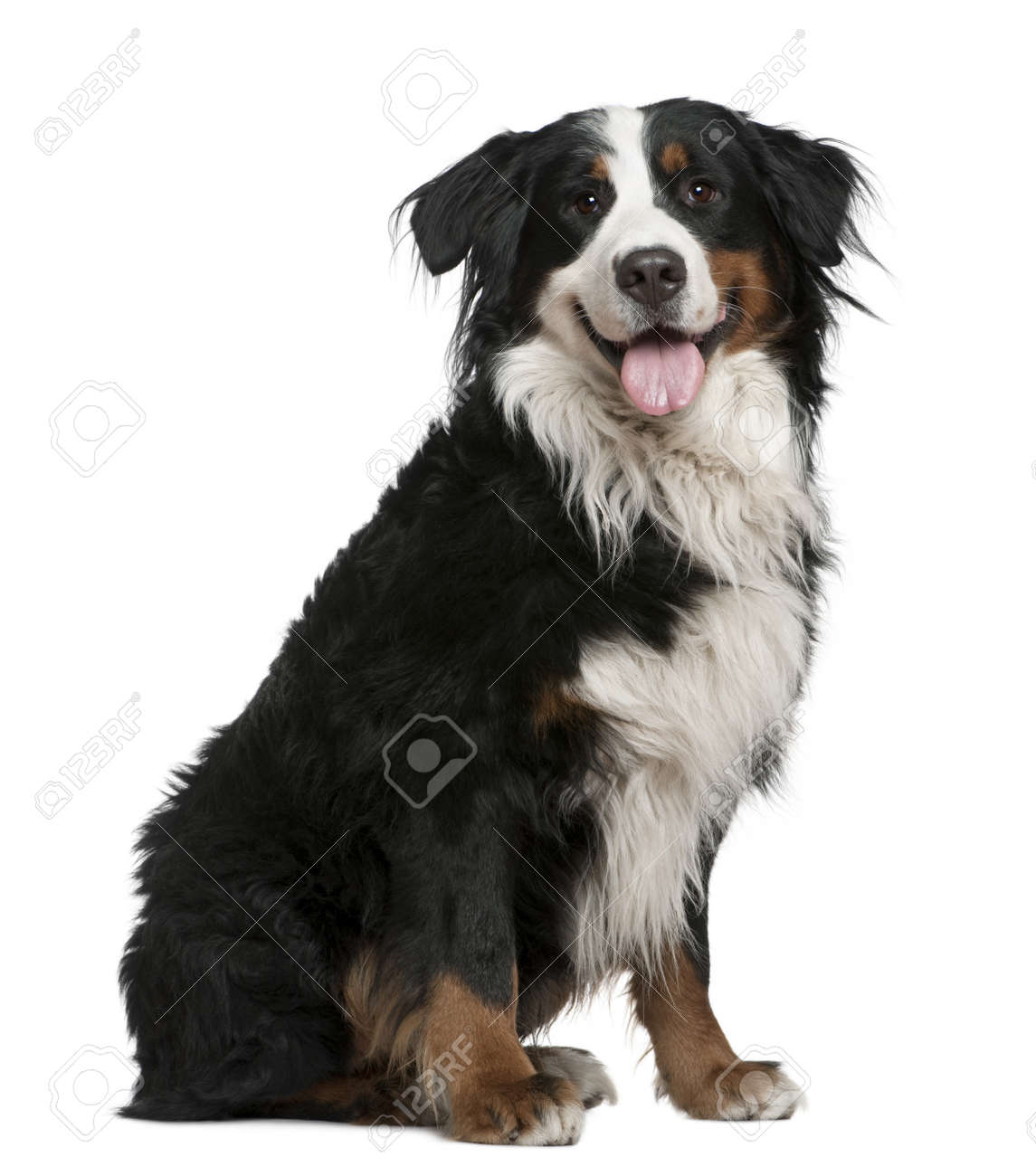 Bernese mountain dog, 3 years old, sitting in front of white background Stock Photo - 7121558