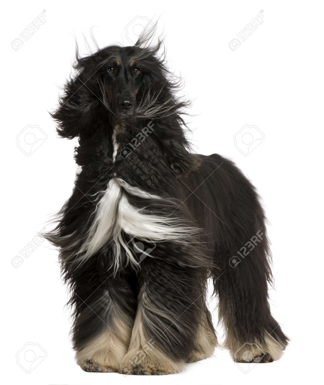 Afghan Hound with his hair in the wind, 4 years old, standing in front of white background Stock Photo - 7121470