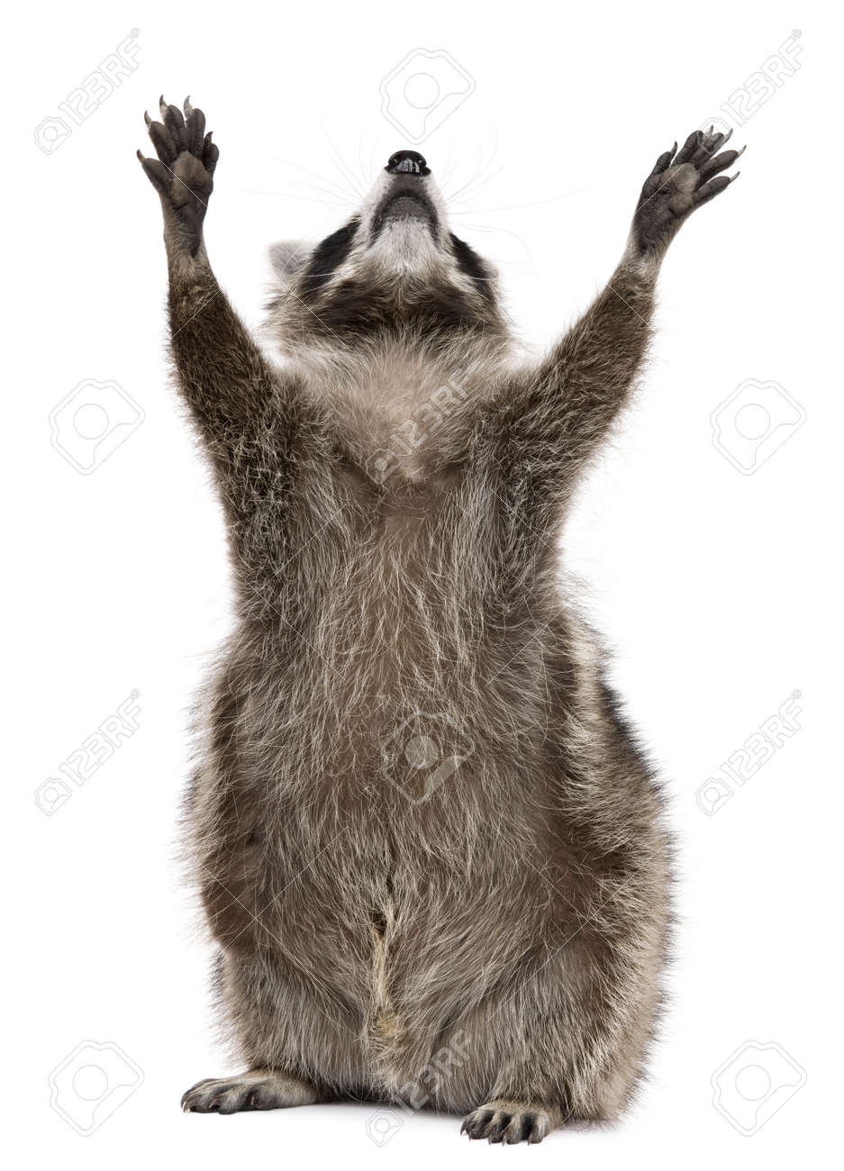 raccoon 2 years old reaching up in front of white background