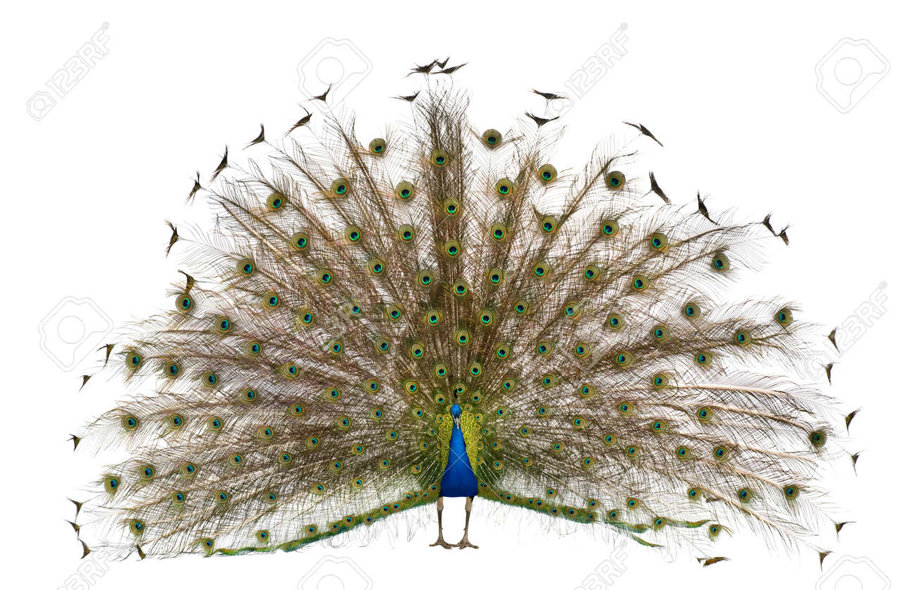 Front view of Male Indian Peafowl displaying tail feathers in front of white background Stock Photo - 7121666