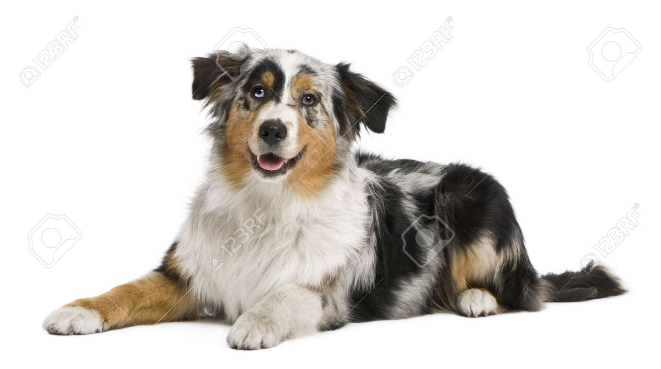 Australian shepherd, 6 months old, in front of white background Stock Photo - 7121174