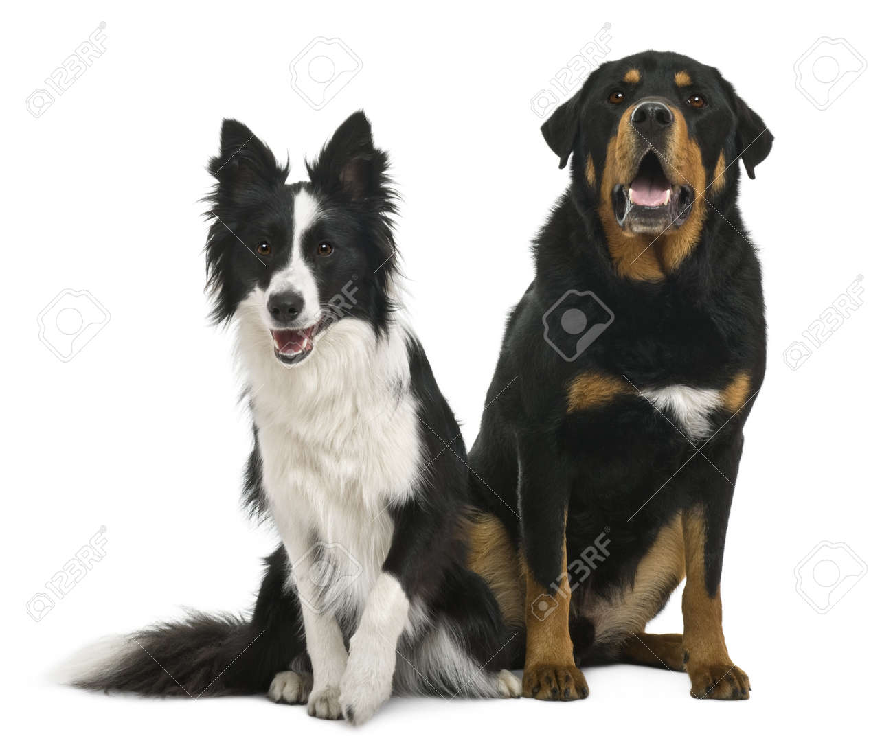 Mixed-breed 5 years old and border collie, 18 months old, in front of white background Stock Photo - 7120683
