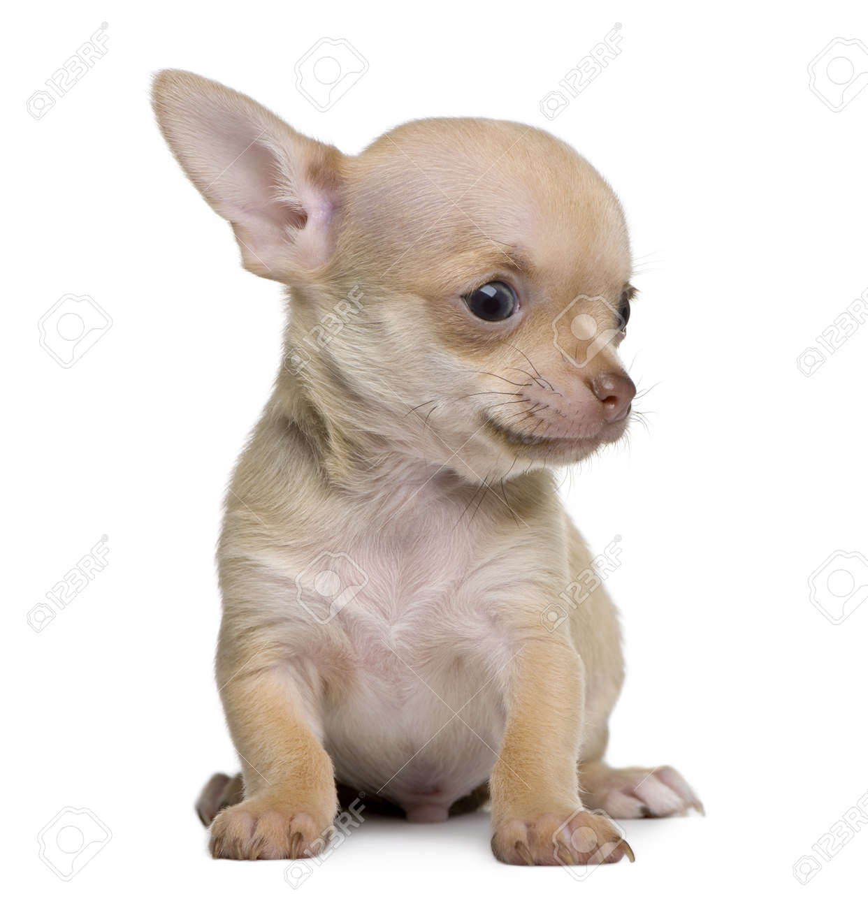 Chihuahua puppy, 8 weeks old, sitting in front of white background Stock Photo - 7127965