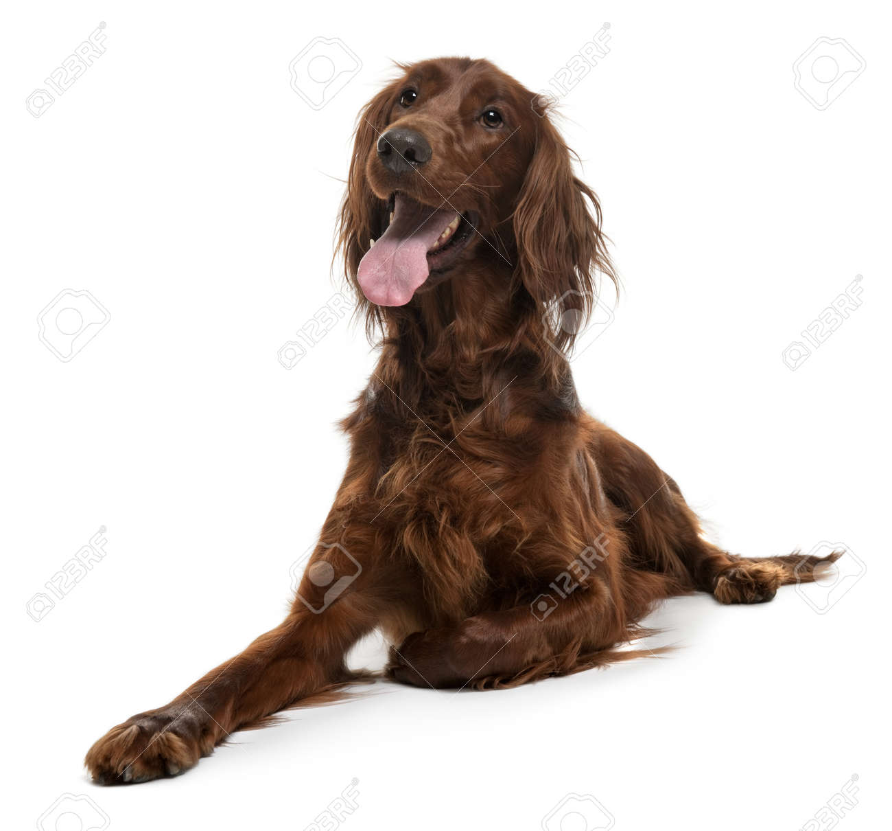 Irish Setter, 2 years old, lying in front of white background Stock Photo - 7127971