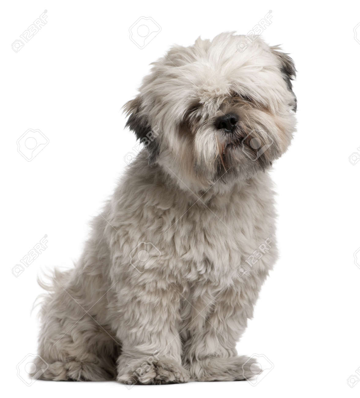 Lhasa Apso, 14 months old, sitting in front of white background Stock Photo - 7128011