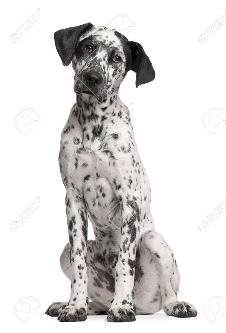 Mixed-breed puppy, 6 months old, sitting in front of white background Stock Photo - 7128075