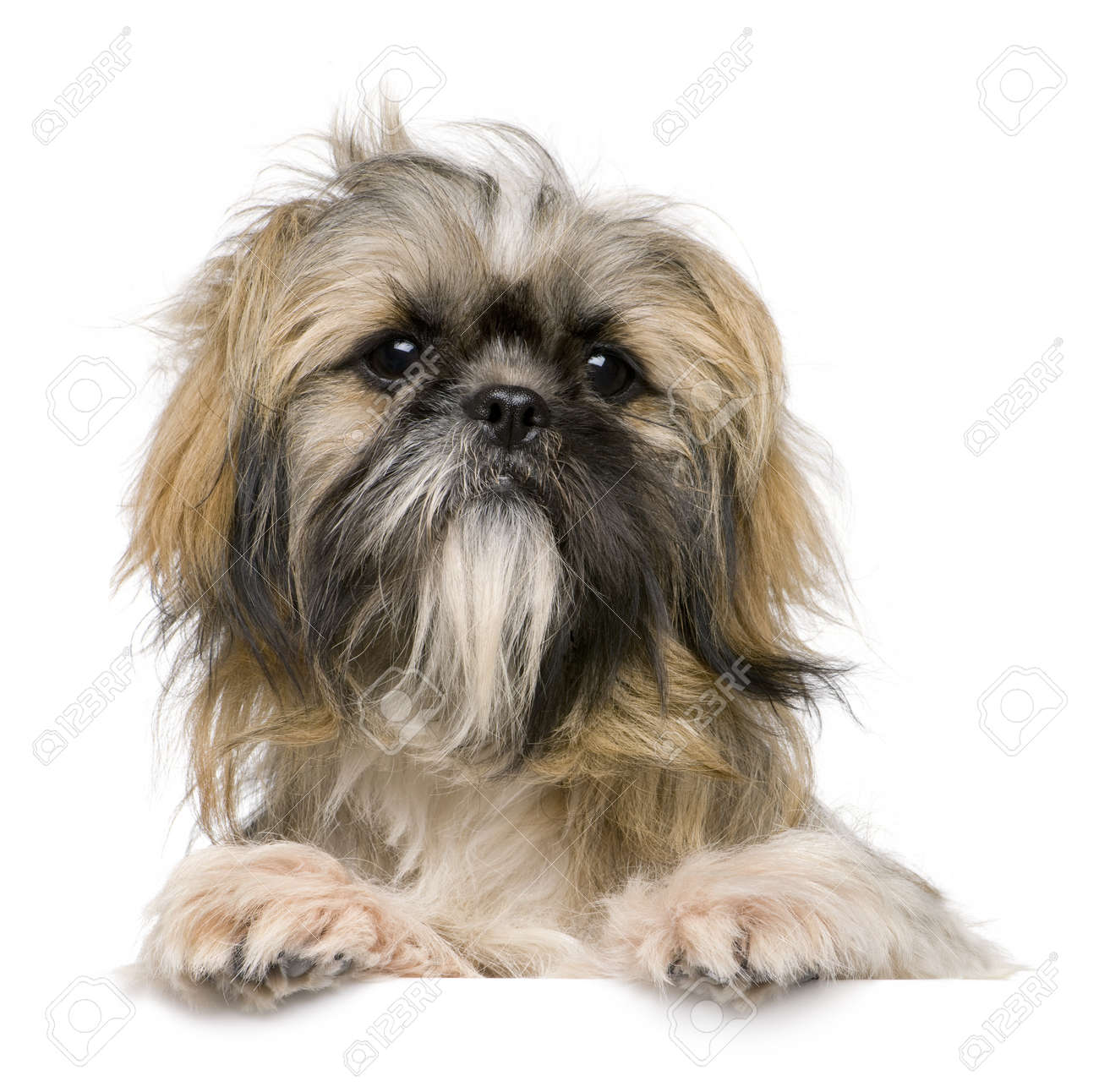 Shih Tzu 1 Year Old Against White Background Stock Photo Picture