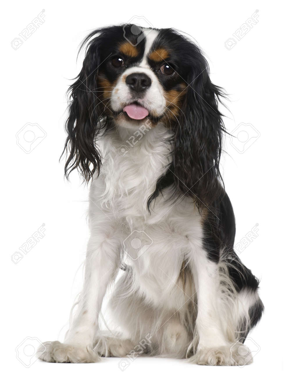 Cavalier king Charles spaniel, 1 year old, sitting in front of white background Stock Photo - 7251114